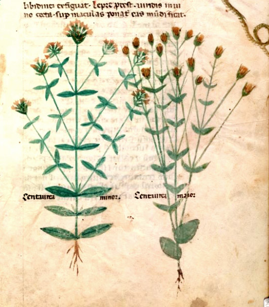 Egerton MS 747 f21 : Centaurea minor and major